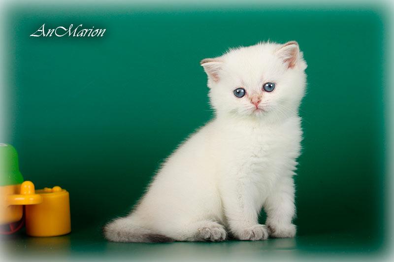 Risha An Marion золотая шиншилла пойнт в питомнике кошек в Москве
