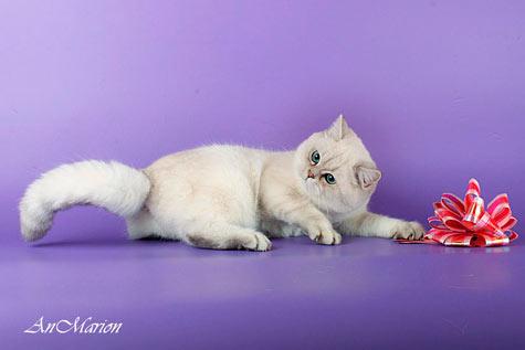 британская кошечка имеет тип и костяк плюшевого медвежонка, круглую истинную британскую головушку, отличные толстые щечки, короткий носик, кукольный беби-фейс