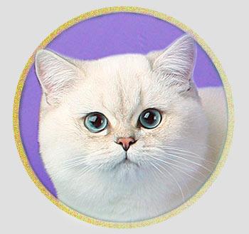 кошка британские шиншиллы серебристого окраса из Москвы An Marion Q Roshely