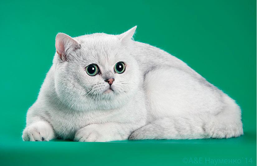 Этот британский кот был импортирован в питомник Москвы из Германии
