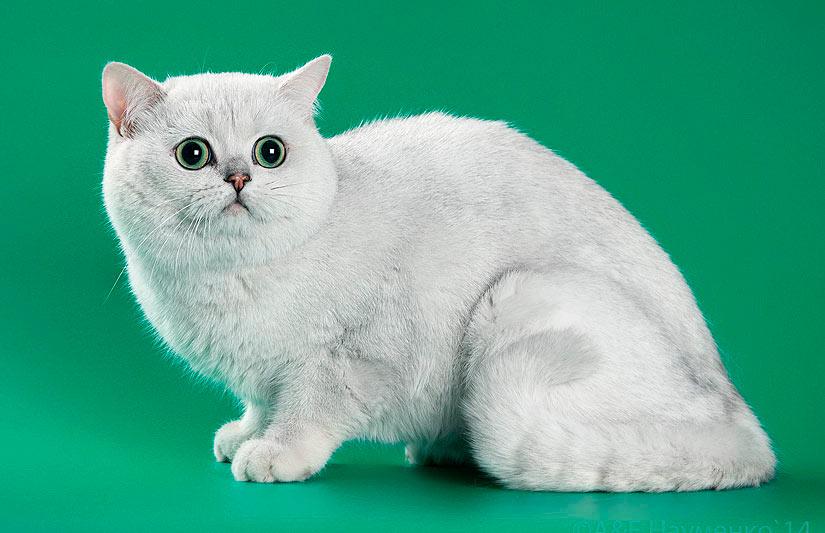 Сева имеет короткую очень светлую плюшевую шерсть, круглую голову, короткий нос и выразительные, огромные глаза.