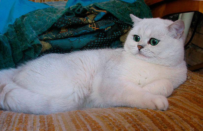 Этот британский кот уже успел стать папой, причем, не только серебристых, но и золотых котят.