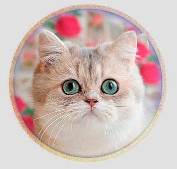 кошка британские шиншиллы серебристого окраса из Москвы Ксавьера
