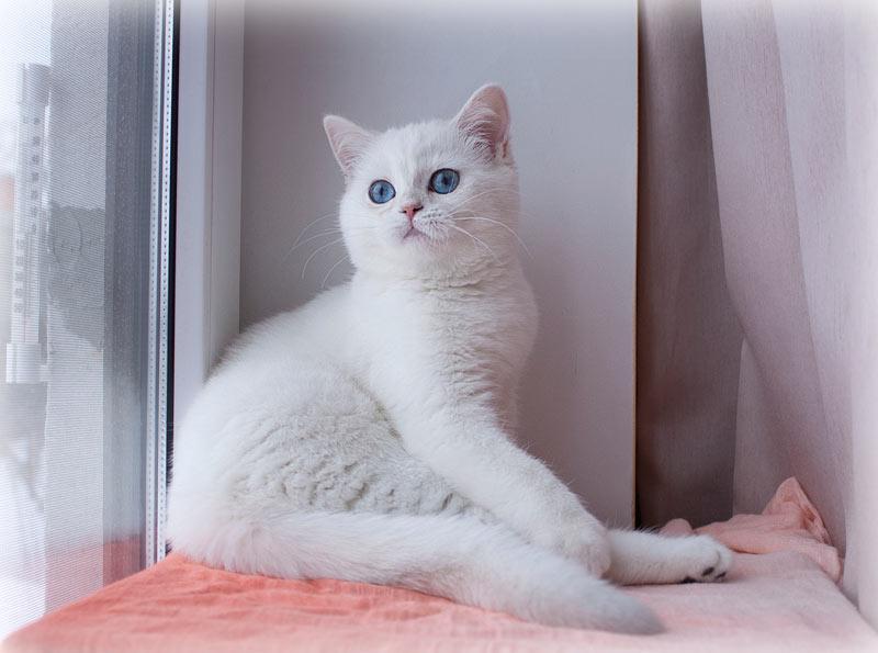 Tayna An Marion шиншилла пойнт в питомнике кошек в Москве