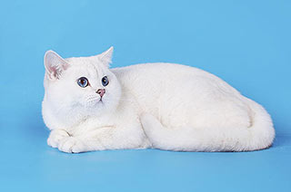Британский кот Антон, был привезен в Россию из известного немецкого питомника