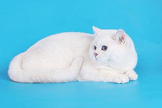 Кот британской шиншиллы стал лучшим в Москве на выставке кошек