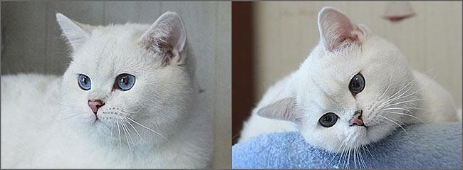 Антон крупный британский кот, основным достоинствами которого являются короткая очень светлая шерсть