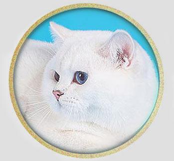 кот британской шиншиллы