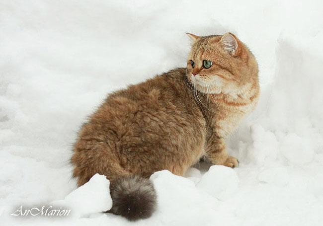 Тринити - британская кошка окраса золотая затушеванная шиншилла