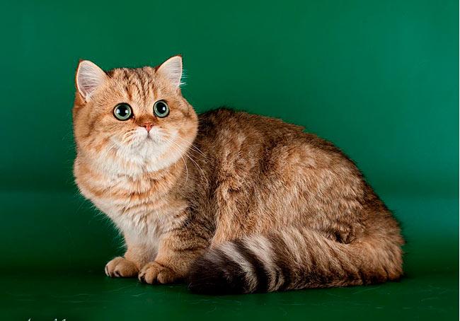 Тринити молодая кошечка очень харизматичная золотая кошка в Московском питомнике
