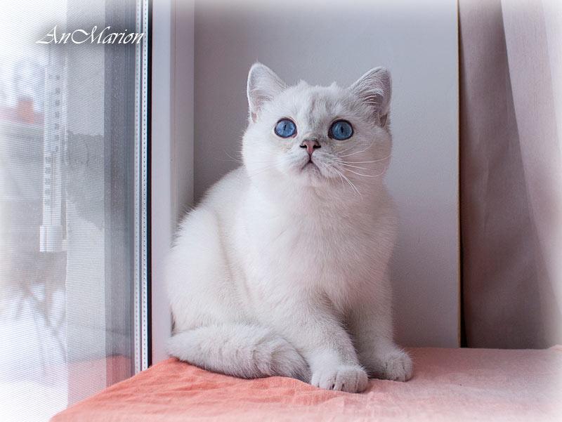 An Marion шиншилла пойнт в питомнике кошек в Москве