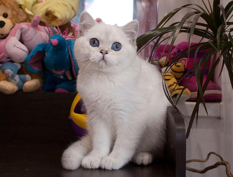 обладатель огромных синих глаз и окраса шиншилла пойнт,