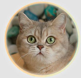 кошка британские шиншиллы серебристого окраса из Москвы Хани Золотой Замок